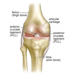 ACL anatomy