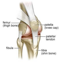knee anatomy2