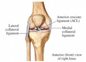 knee collateral ligaments
