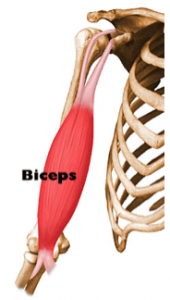 Distal Biceps Tendon