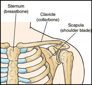 Clavicle Anatomy
